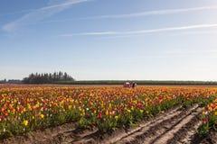 Tulip Farm Stock Photo