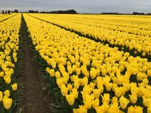 Tulip farm. Very large field of yellow tulips in flower  arranged in wide geometric rows, distant trees and sky Royalty Free Stock Photo