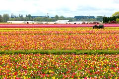 Tulip Farm in Woodburn Oregon Stock Photography