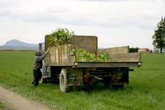 Tulip farm workers. In Skagit Valley, Washington Royalty Free Stock Image
