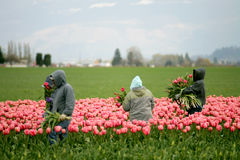 Tulip farm workers Royalty Free Stock Photo