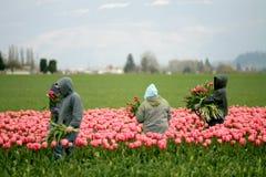 Tulip farm workers. In Skagit Valley, Washington Royalty Free Stock Photo