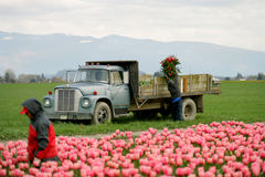 Tulip farm workers Stock Photo
