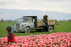 Tulip farm workers. In Skagit Valley, Washington Stock Photo