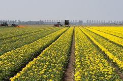 Tulip farmers in the Netherlands Royalty Free Stock Photos