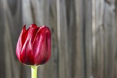 Tulip Fence Royalty-vrije Stock Afbeeldingen