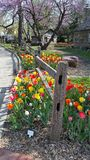 Tulip Fence. Vertical image of a tulip bed flanking a rustic wooden fence. Image taken at the Tulip Festival held yearly at the Ward Meade Park in Topeka, Kansas Royalty Free Stock Photography