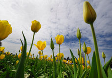 Tulip fest in wooden shoe Stock Image