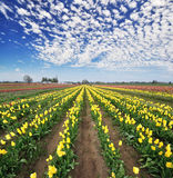 Tulip fest in wooden shoe Stock Images
