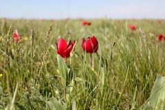 Tulip Festivai in Kalmykia stock photos