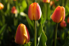 Tulip Festival Royalty Free Stock Photography