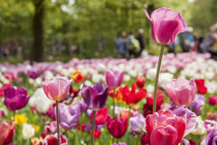 Tulip  Festival. Sea of spring flowers in park Royalty Free Stock Photos