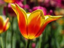 Tulip Festival Fotos de archivo