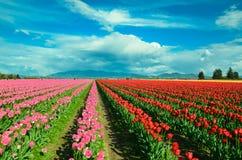 Tulip Festival Fotos de Stock
