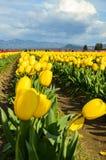 Tulip Festival Foto de Stock