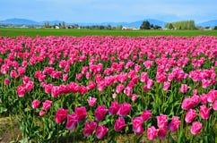 Tulip Festival Immagine Stock