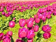 Tulip Festival Imagem de Stock Royalty Free