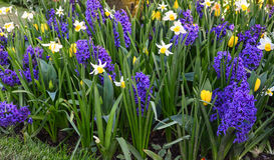 Tulip Festival Imagem de Stock