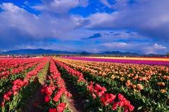 Tulip Festival Imagens de Stock