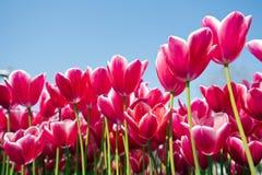 Tulip Festival Stock Afbeeldingen