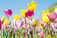 Tulip Festival Royalty-vrije Stock Foto's