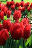 Tulip Festival Stock Fotografie