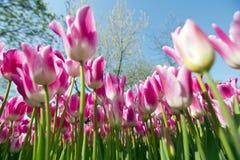 Tulip Festival Imagen de archivo libre de regalías