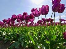Tulip Festival fotografía de archivo