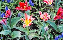 Tulip Festival Lizenzfreie Stockfotos