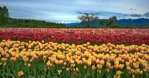 Tulip Festival Imágenes de archivo libres de regalías