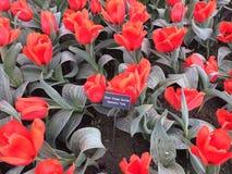 Tulip Festival stockfoto