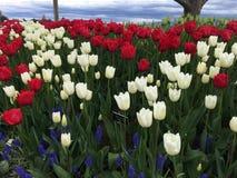 Tulip Festival Lizenzfreie Stockbilder