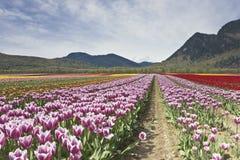 Tulip Festival - Agasiz - British Columbia Stock Image