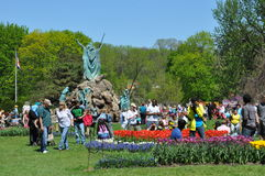 Tulip Festival in Albany, New York State Royalty Free Stock Image