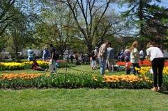 Tulip Festival in Albany, New York State Stock Photo
