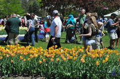 Tulip Festival in Albany, New York State Stock Photography