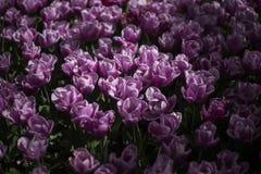 Tulip festival in Australia during blooming season Stock Photos