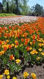 Tulip festival colorful expositiion royalty free stock photo