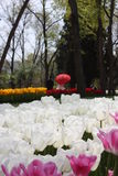 Tulip festival, emirgan park istanbul turkey Stock Photo