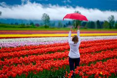 Tulip festival in Fraser Valley near Chilliwack. royalty free stock photography