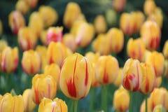 Tulip Festival Stock Photo