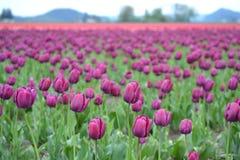 Tulip Festival i Mt Vernon Washington Fotografering för Bildbyråer