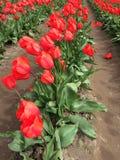 Tulip festival stock images