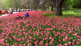 Tulip festival in a North American City. In spring stock video