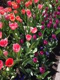 Tulip Festival op Dankzeggingspunt, Utah Stock Afbeelding