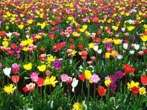 Tulip Festival, Oregon foto de archivo libre de regalías