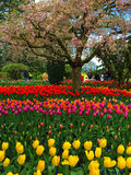 Tulip Festival in Skagit Valley Royalty Free Stock Image