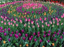 Tulip Festival in Skagit Valley Stock Photos