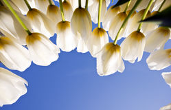Tulip Festival. Started in Istanbul Royalty Free Stock Images