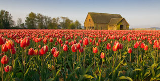 Tulip Festival. Taken during the Skagit Valley Tulip Festival in Washington State stock image